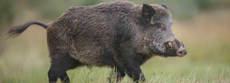 ASP-Wildschwein